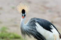Animaux Animals Grue royale Royal crane