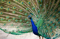Animaux Animals Paon Peacock