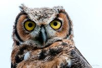Animaux Animals rapace Hiboux Hiboux Owls Bird of prey