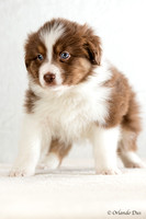 Chiots Berger Australien Australian shepherd Puppies 6 weeks old petit chien