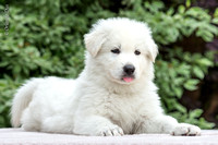 Chiots Berger Suisse blanc  - White Swiss Shepherd Dog